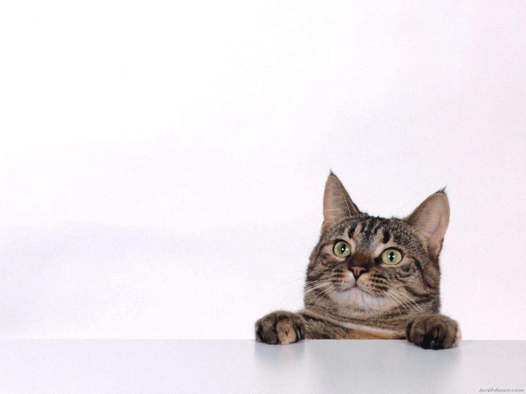 Cat-Playing-Wallpaper-For-Android-PIC-MCH051554-1024x768 Hd Cat Wallpapers For Android 29+