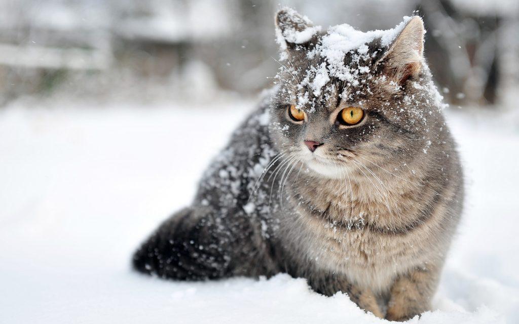 Cat-Wallpaper-download-pictures-PIC-MCH051579-1024x640 Hd Cat Wallpapers Free 49+