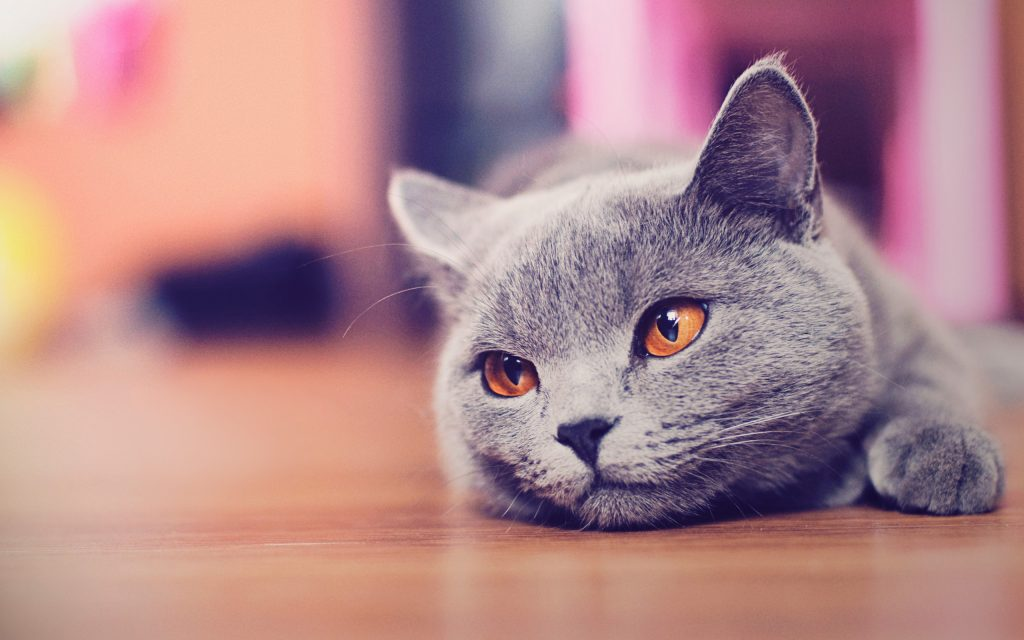 Desktop-Cat-Hd-Page-High-Resolution-With-Wallpaper-Of-Cute-Cats-In-Photos-Images-Mobile-Phones-Pics-PIC-MCH058035-1024x640 Hd Cat Wallpapers For Pc 41+