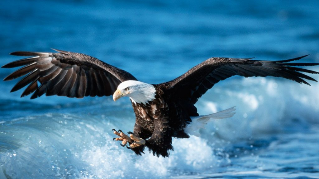 Eagles-backgrounds-attack-in-sea-fish-PIC-MCH061561-1024x576 Eagles Wallpapers Free 53+