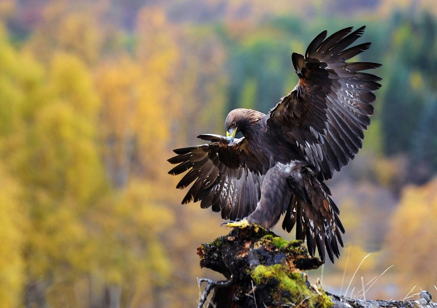 Jepson-Golden-Eagle-Photos-Pics-HD-Wallpapers-PIC-MCH078655 Beautiful Eagles Wallpapers 39+