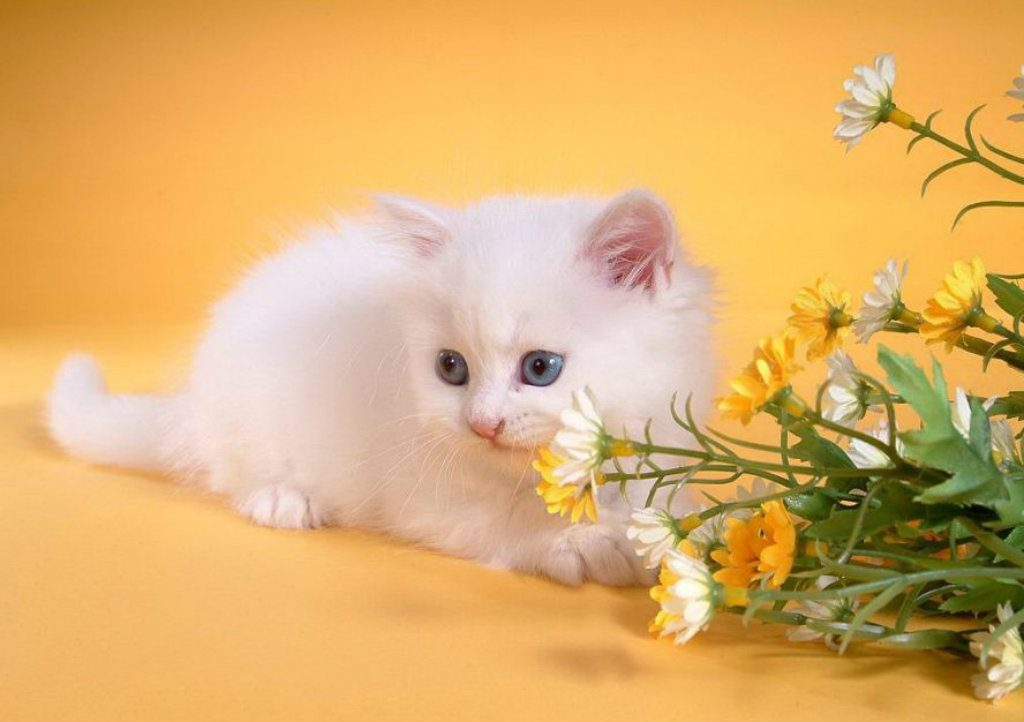 Lovely-Cat-HD-Wallpaper-For-Desktop-PIC-MCH083579-1024x722 Hd Cat Wallpapers Free 49+