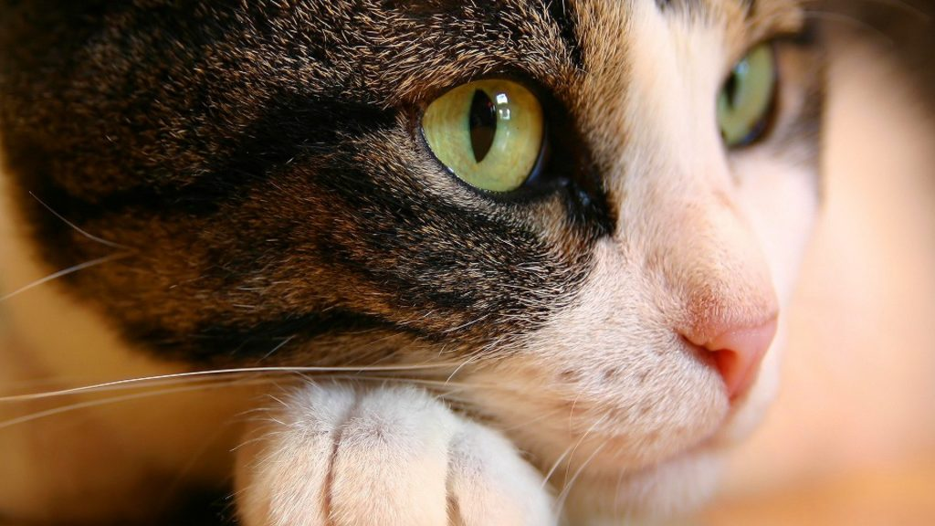 Cat Wallpaper PIC MCH051574 1024x576 Hd Wallpapers For Pc 41
