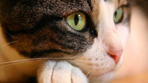 Hd Cat Wallpapers For Pc 41+
