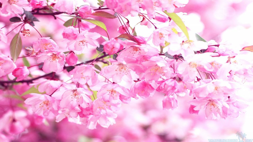 charm-pink-cherry-blossom-wallpaper-wallpapersafari-cherry-blossom-wallpaper-PIC-MCH051983-1024x576 Blossom Wallpaper Pink 33+