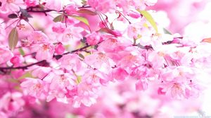 Blossom Wallpaper Pink 33+