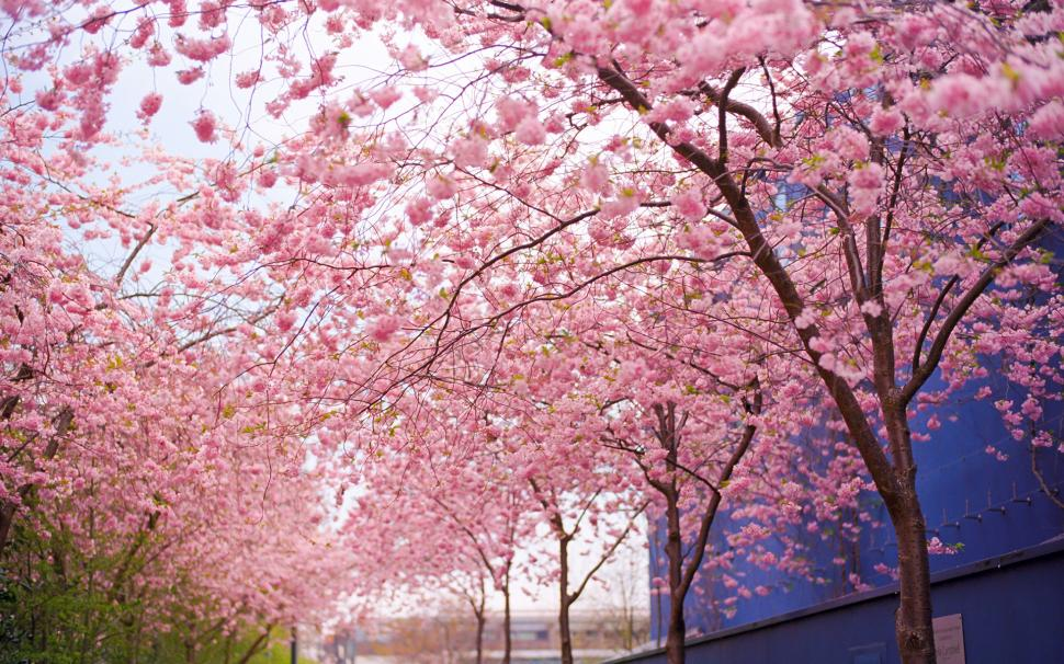 cherry-blossom-flowers-tree-pink-hd-P-wallpaper-middle-size-PIC-MCH052043 Blossom Wallpaper Pink 33+