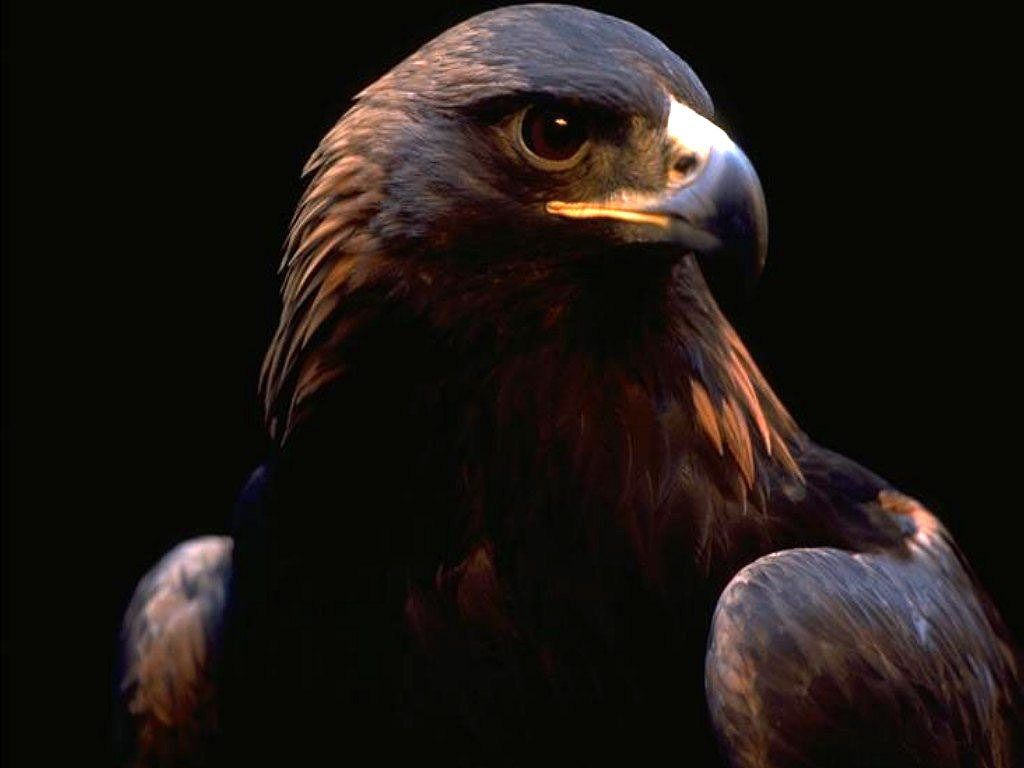 eagle-wallpaper-PIC-MCH061557-1024x768 Beautiful Eagles Wallpapers 39+