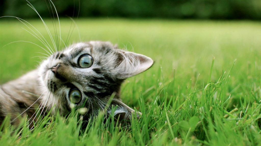free-desktop-cats-P-wallpaper-PIC-MCH065109-1024x576 Hd Cat Wallpapers For Pc 41+