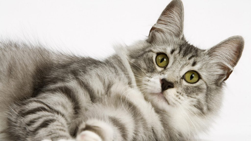 free-hd-cat-wallpapers-newevolution-PIC-MCH024236-1024x576 Hd Cat Wallpapers Free 49+
