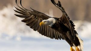 Golden Eagles Wallpapers 55+