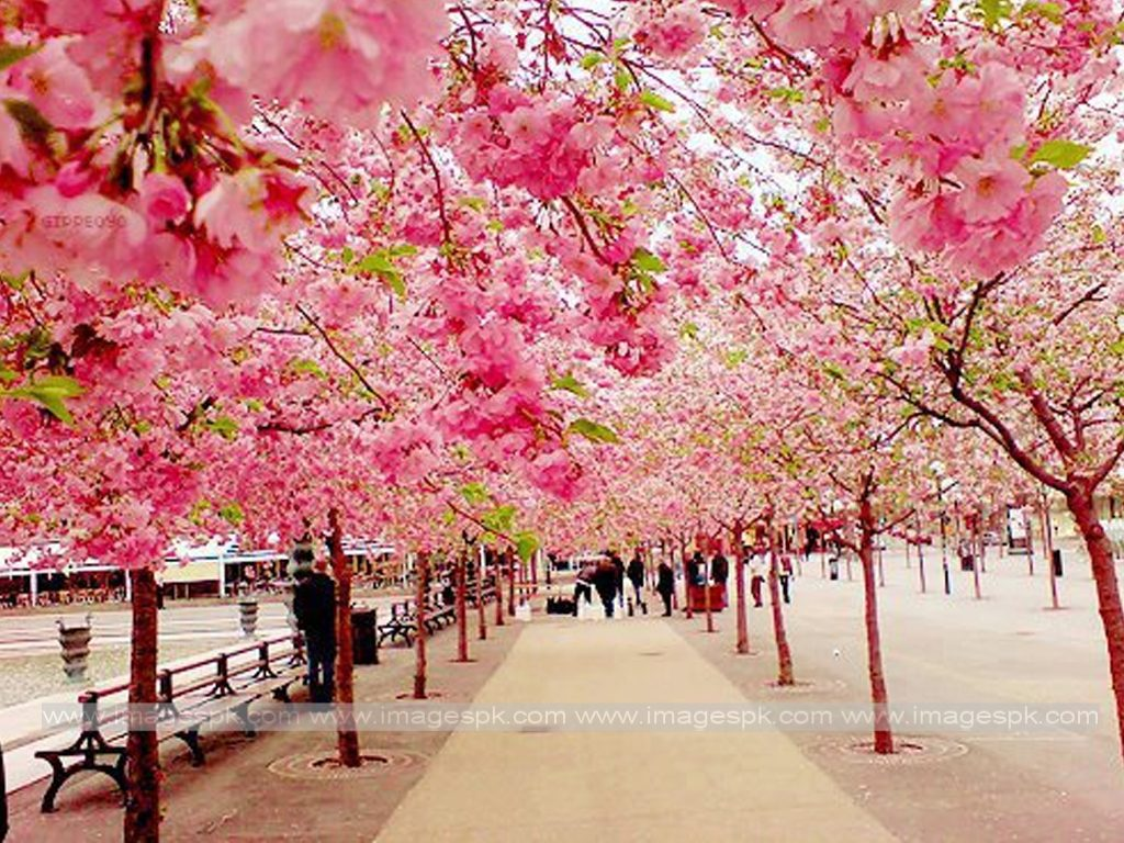 splendent-cherry-blossom-wallpaper-wallpaper-cherry-blossom-wallpapersafari-cherry-blossom-wallpape-PIC-MCH0103421-1024x768 Blossom Wallpaper Pink 33+