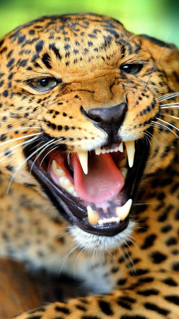 Crazy-angry-leopard-iphone-plus-wallpaper-PIC-MCH054797-576x1024 Crazy Wallpapers For Iphone 6 30+