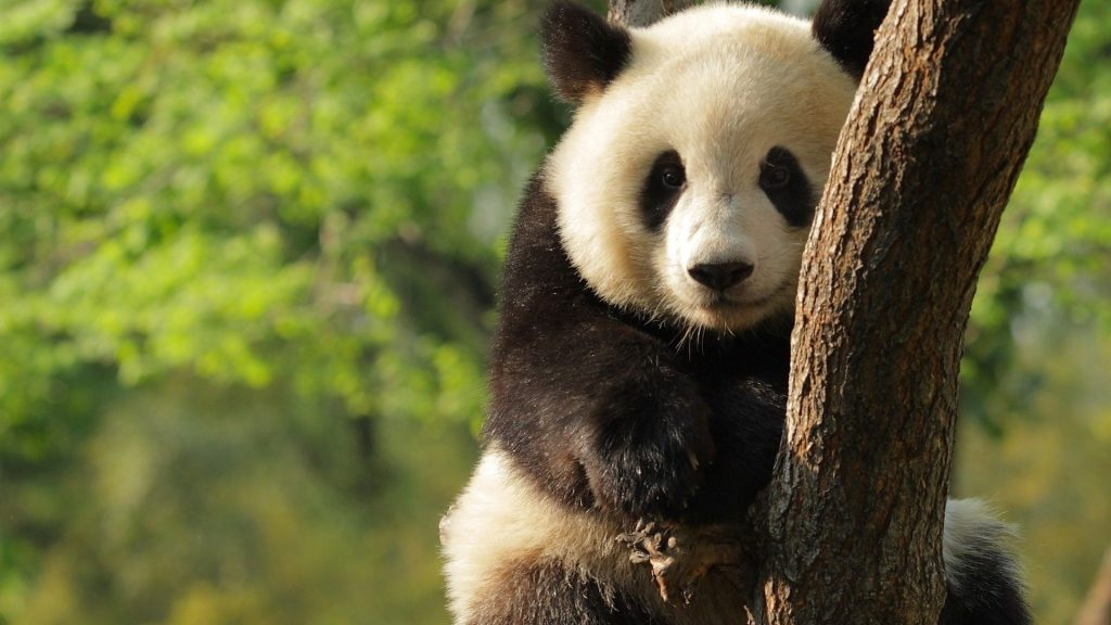 Free-download-panda-backgrounds-wallpapers-HD-PIC-MCH065214-1024x576 Panda Bear Wallpaper Hd 36+