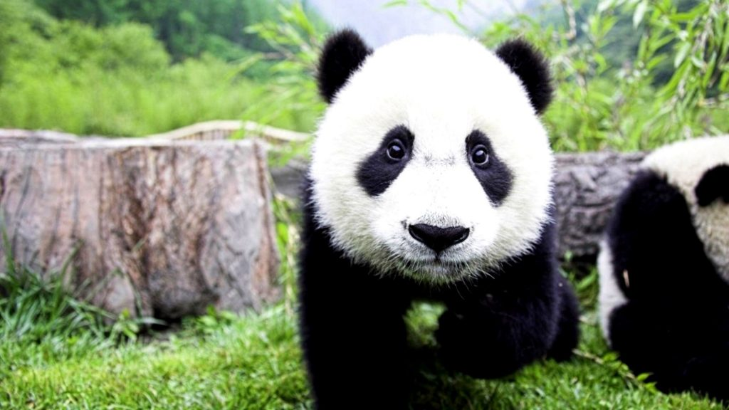 PIC-MCH010713-1024x576 Panda Bear Wallpaper Hd 36+