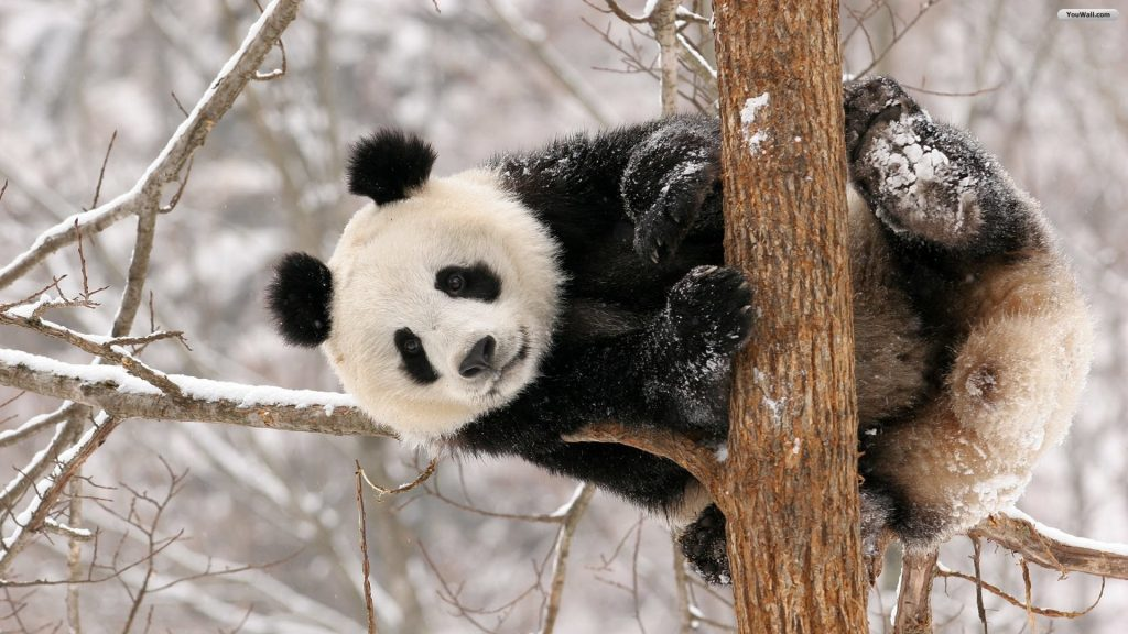 PIC-MCH011471-1024x576 Panda Bear Wallpaper Hd 36+