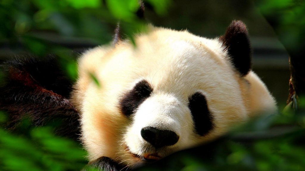 PIC-MCH05494-1024x576 Panda Bear Wallpaper For Android 26+