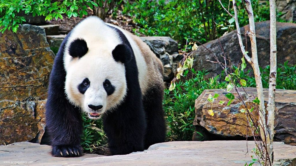 ZilFUdH-PIC-MCH0121328-1024x576 Panda Bear Wallpaper For Android 26+