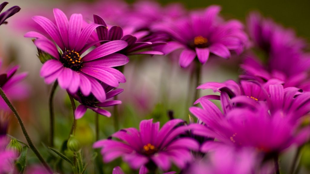 amazing-flower-wallpaper-PIC-MCH039722-1024x576 Amazing Flower Wallpapers 38+