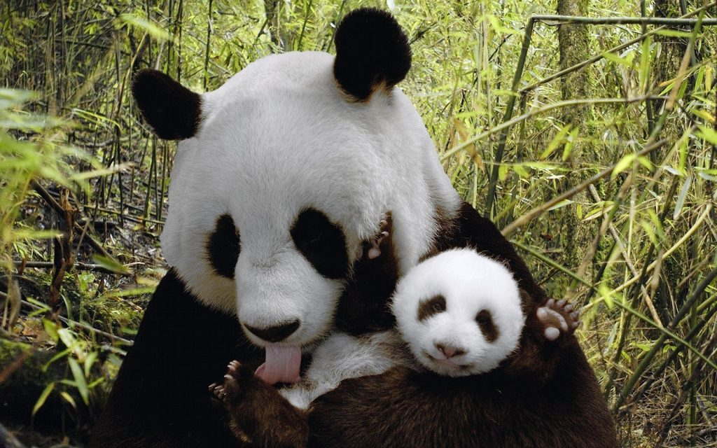 cute-baby-panda-wallpaper-PIC-MCH055348-1024x640 Baby Panda Bear Wallpaper 34+