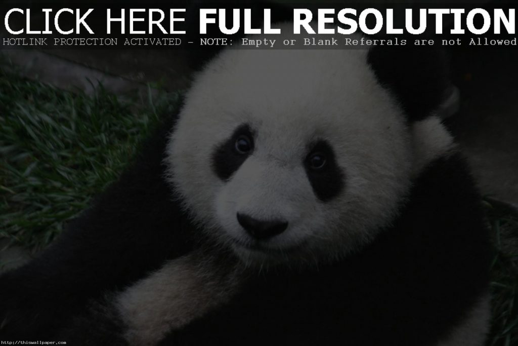 cute-panda-bear-wallpaper-PIC-MCH055289-1024x683 Baby Panda Bear Wallpaper 34+