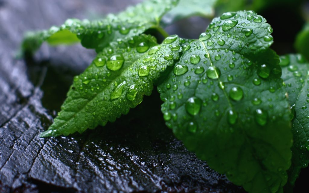 fresh-air-amazing-nature-leavesfree-hd-nature-picturesfresh-mint-background-images-natural-PIC-MCH066192-1024x640 Mint Wallpapers Hd 26+
