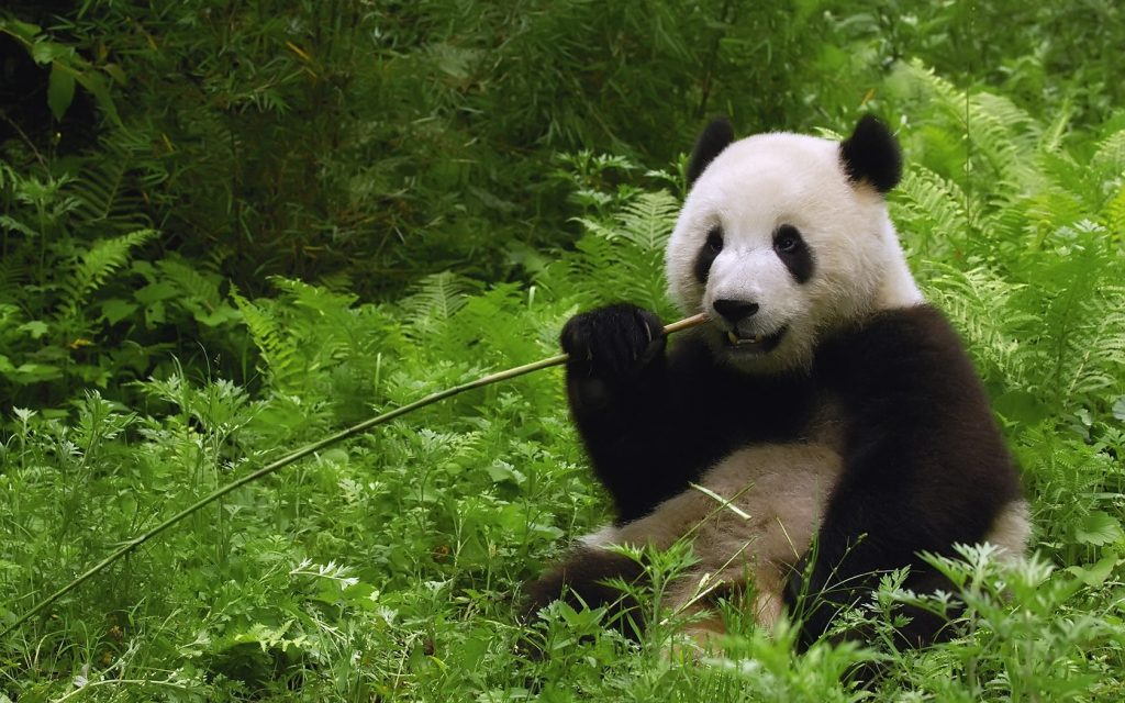 image-PIC-MCH074977-1024x640 Panda Bear Wallpapers For Mobile 13+