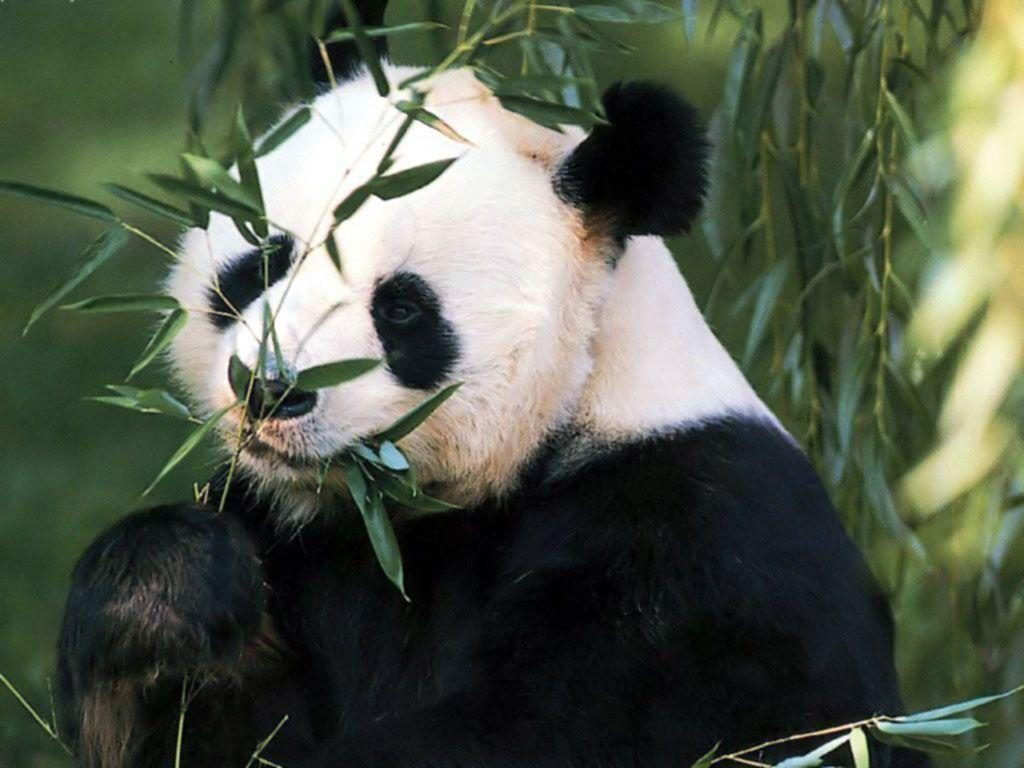 kxCUVw-PIC-MCH080895-1024x768 Panda Bear Wallpaper Hd 36+