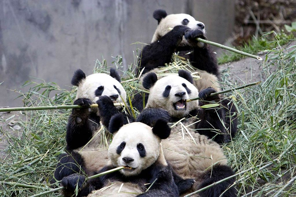 panda-wallpaper-PIC-MCH016605-1024x682 Panda Bear Wallpaper Hd 36+