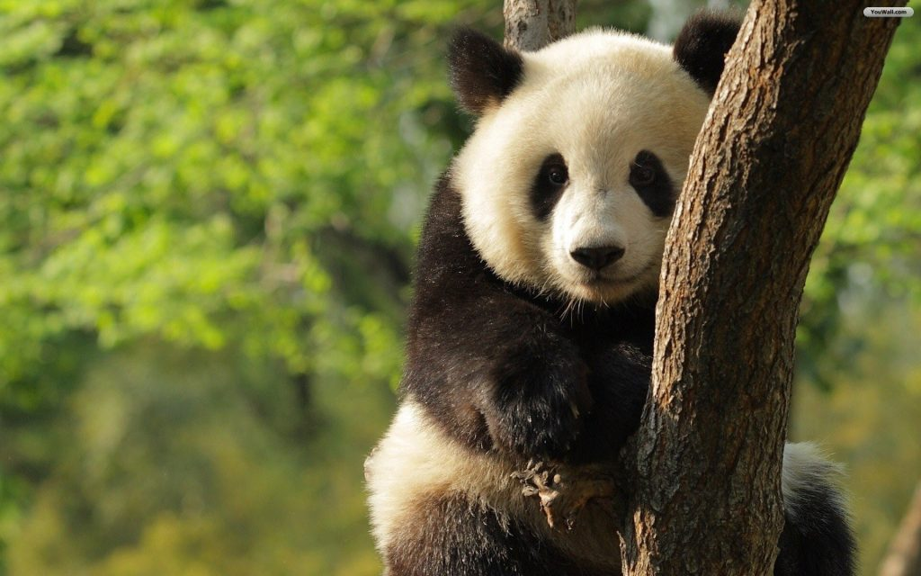panda-wallpaper-picture-On-wallpaper-hd-PIC-MCH093008-1024x640 Panda Bear Wallpaper For Android 26+