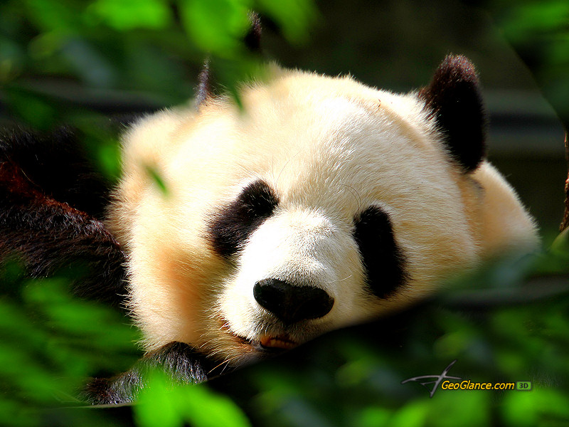 panda-x-PIC-MCH07923 Panda Bear Wallpaper Hd 36+