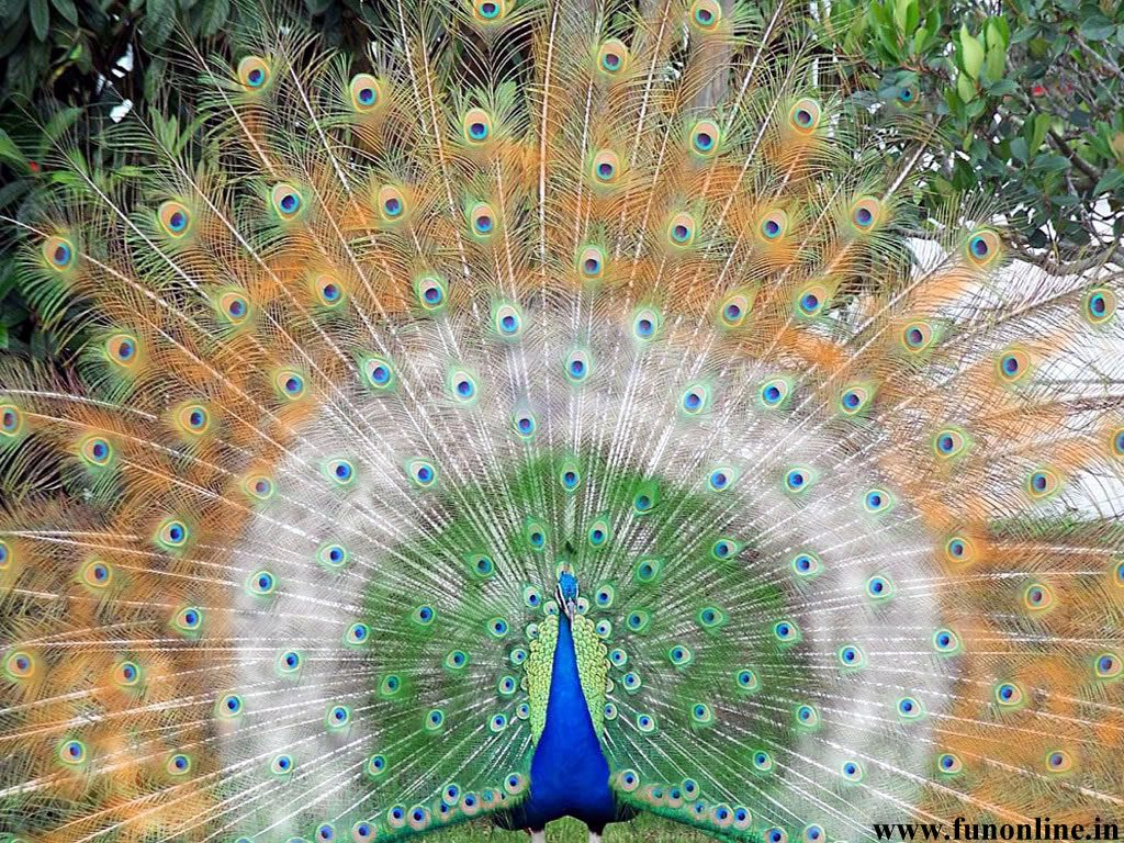 peacock-wallpapers-download-indian-national-bird-peacock-wallpapers-PIC-MCH094215-1024x768 Beautiful Indian Flag Wallpaper 32+