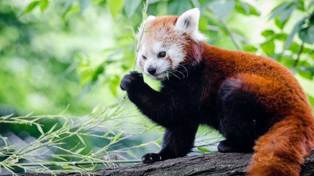red-panda-wallpaper-hd-hd-wallpapers-PIC-MCH098371-1024x576 Panda Bear Wallpaper Hd 36+