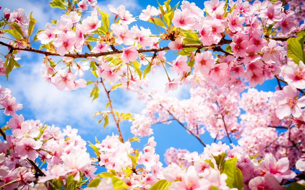 xWjoP-PIC-MCH0120329-1024x640 Pretty Spring Flowers Wallpapers 37+